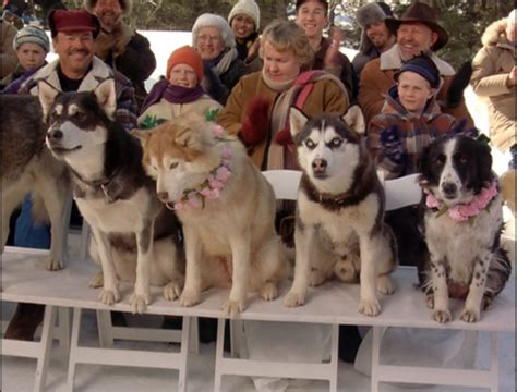 from snow dogs siberian huskies images from snow dogs wallpaper and background photos 32171020