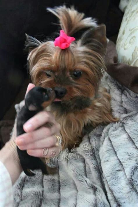 where to find yorkie puppies best 20 yorkie hairstyles ideas on yorkie hair cuts yorkie haircuts and