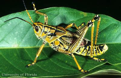 eastern lubber grasshoppers gardening solutions