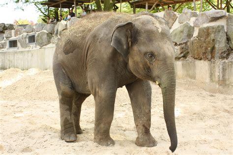 asiatische bilder asiatischer elefant zoo osnabr 252 ck