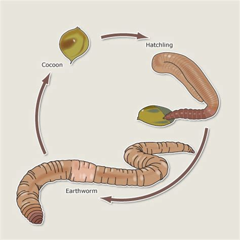 earthworm reproduction diagram earthworm cycle earthworms te ara encyclopedia of new zealand