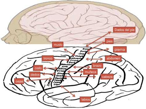 inductor principal en la induccion neural primaria el cerebro