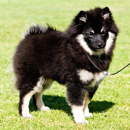 pomeranian breed standard 25 best images about german spitz on what does bum what does