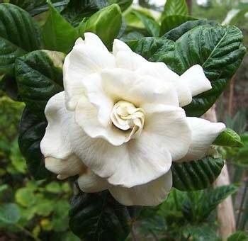 gardenia aimee yoshiba  pot   plants