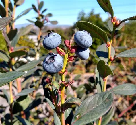 blueberries   bloom eaten thanksgiving time greg