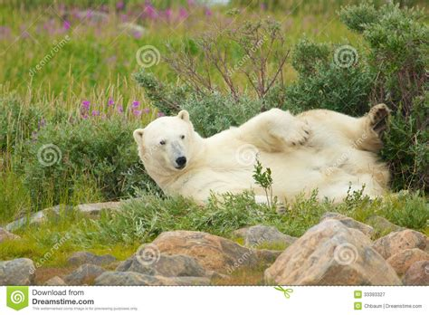 wallowing polar 2 royalty free stock photography image 33393327