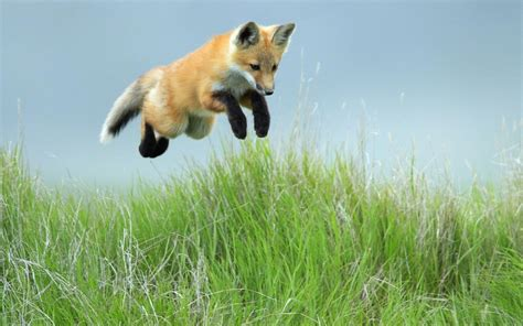 Animal Jump wallpaper with a jumping fox in grass hd animals wallpapers