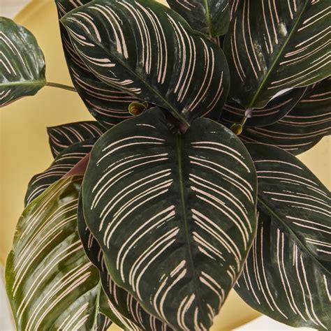 calathea sanderiana pin stripe indoor plants  london
