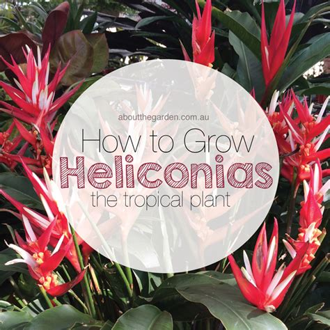 How To Grow A Flower Garden How To Grow Heliconias About The Garden Magazine About The Garden Magazine