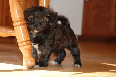havanese poodle mix havapoo havanese x poodle mix info temperament puppies pictures