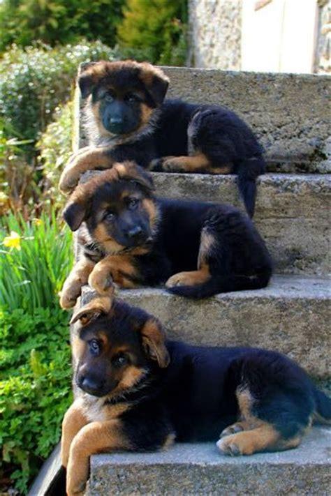 too cute german shepherd puppies german shepherd puppies puppies for sale