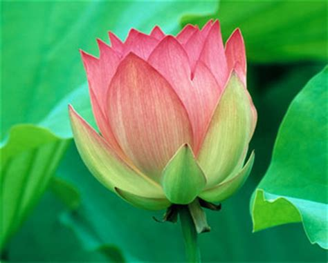 Our National Flower Lotus National Flower Of India Indian Lotus Indian National