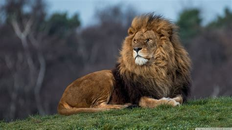 lion king  hd desktop wallpaper   ultra hd tv
