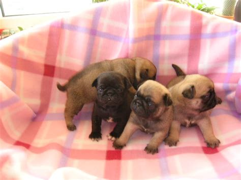 pug puppies cost pug puppies in 6 comments