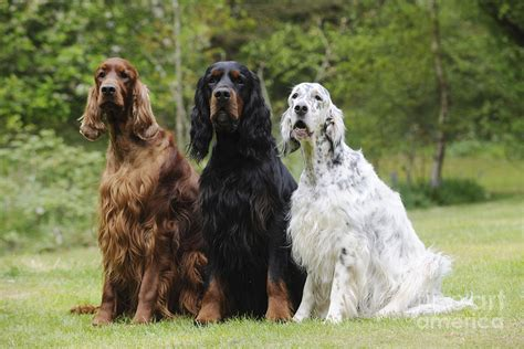 setter s three different setters photograph by john daniels