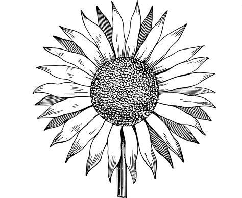 Sunflower Clip Outline by Sunflower Clipart Black And White Cliparts Galleries