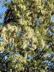 lilac tree information lilac tree information hunker