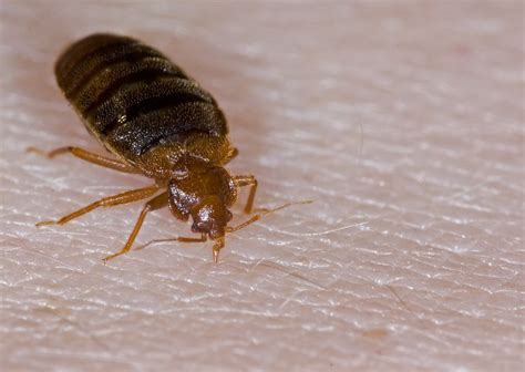top 5 cheap ways to kill bed bugs