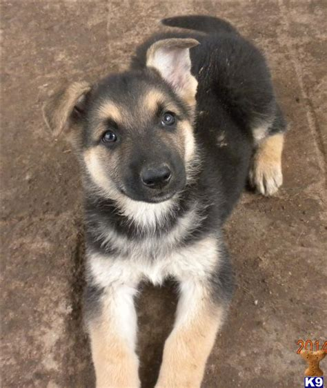 cheap german shepherd puppies for sale german shepherd dogs for sale in breeds picture