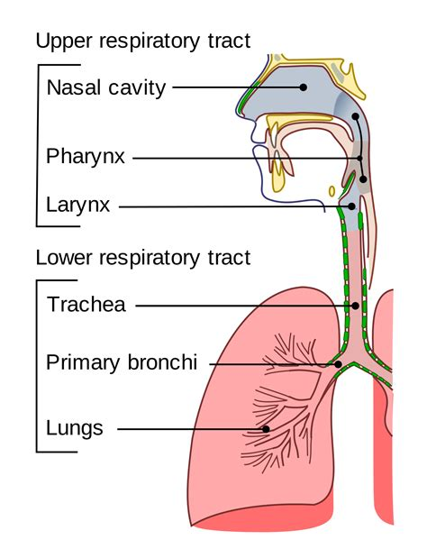 what is the first section of the small intestine trachea wikipedia
