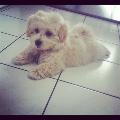 maltese x poodle lifespan 108 best images about maltipoo puppies on