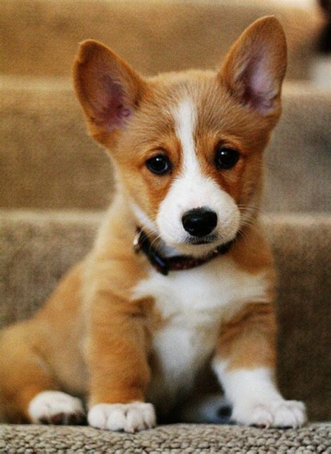 Corgis Shedding by 17 Best Images About Corgis Not For Me Make Your House