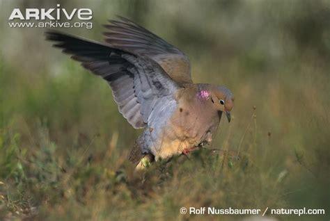 mourning dove photo zenaida macroura g97417 arkive