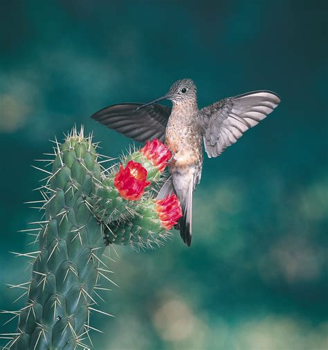 how hummingbirds evolved to fly at high altitude