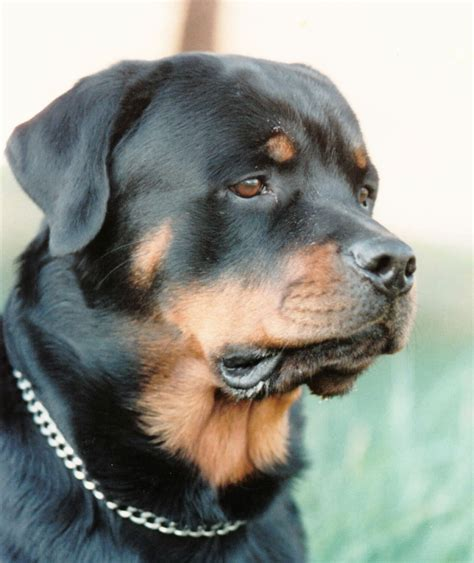 how do rottweilers live for black moon rottweilers black moon rottweilers home page rottweiler breeder