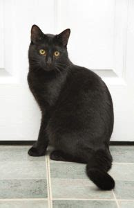 Do Bombay Cats Shed affectionate cat breeds