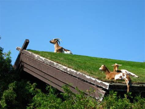 Goats On Roof Door County remembrances of al johnson dcff