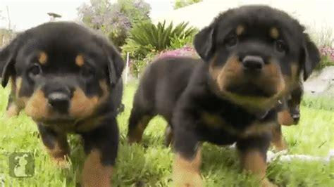 rottweiler gif rottweiler puppies demonstrating their viciousness petgiftblog