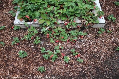 Gardening Techniques 5 Gardening Tips That Will Give You Tons Of Strawberries