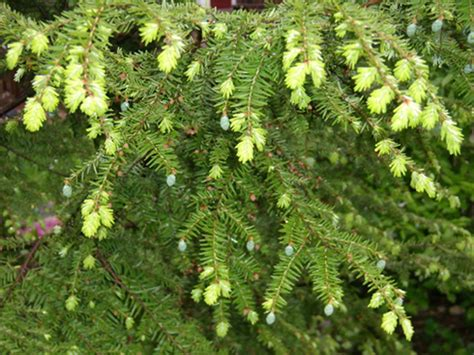 28 best hemlock berries water hemlock or spotted