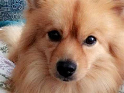 throwback pomeranian puppies for sale throwback pom for stud aberdeen aberdeenshire pets4homes
