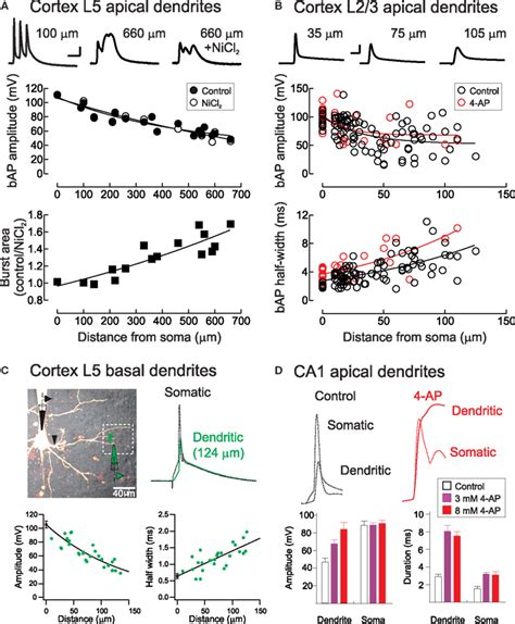 frontiers dendritic cell plasticity in frontiers dendritic synapse location and neocortical