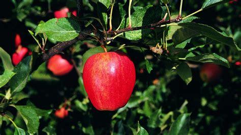 cordon gala apple tree p allen smith classics youtube