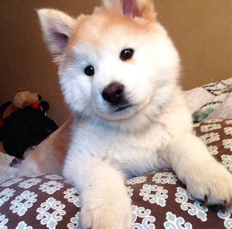 chow husky mix puppies for sale 1000 ideas about chow chow husky mix on husky mix chow chow and husky