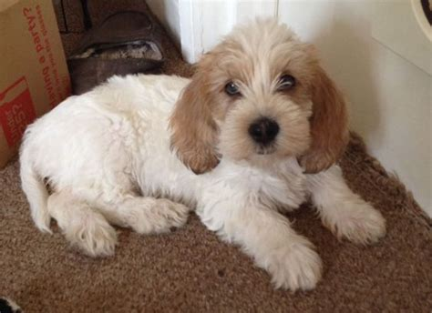 petit basset griffon vendeen puppies for sale petit basset griffon vendeen puppies p b g v puppys