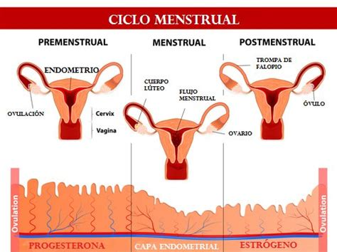 sle of uterine lining qu 233 ocurre en 28 d 237 as ciclo menstrual