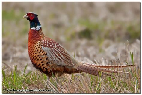 state bird of south dakota south dakota ring necked pheasant usa state flowers
