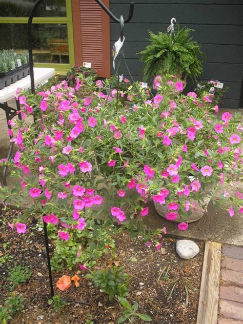 outside plants outdoor plants hanging baskets chesterton indiana flowers