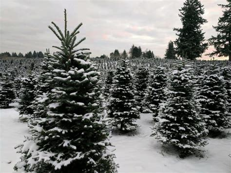 sauvie farms christmas get your tree from one of these tree farms in oregon