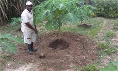Bibit Jagung Manis Paling Unggul pupuk pepaya unggul organik tanaman bunga hias
