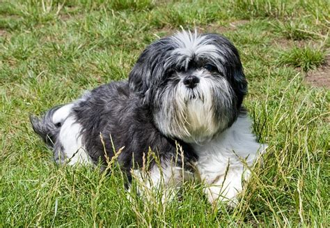 shih tzu guard shih tzu great companion and platpets resources for