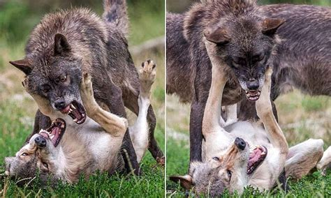 photographer captures vicious fight   wolves