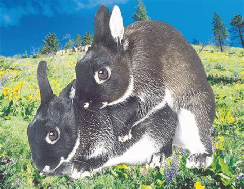 Lu Tidur Berdiri peternakan kelinci kota pati quot truwelu rabbit quot