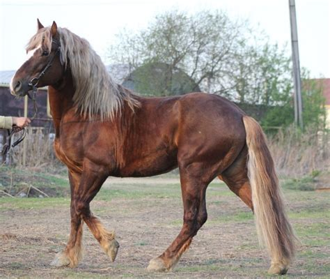 russian breeds russian heavy draft info origin history pictures breeds information