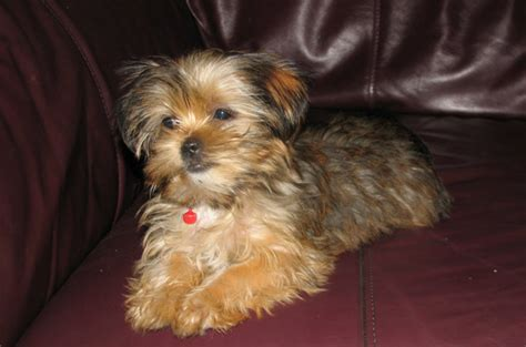 grown up yorkie snorkie schnauzer yorkie mix info temperament puppies pictures