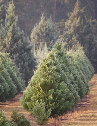 hubbards christmas tree farm hubbard tree farm home